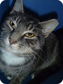 Domestic Shorthair Cat for adoption in Hamburg, New York - Pillow
