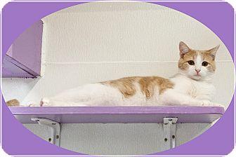 Domestic Shorthair Kitten for adoption in Mt. Prospect, Illinois - Nutter Butter