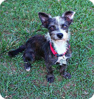 Schnauzer (Miniature) Mix Dog for adoption in Shreveport, Louisiana - Pepe Le Pew