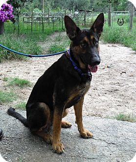 German Shepherd Dog Dog for adoption in SAN ANTONIO, Texas - FRANKIE