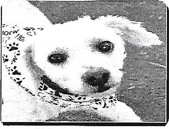 Poodle (Miniature) Mix Dog for adoption in Las Vegas, Nevada - Poof