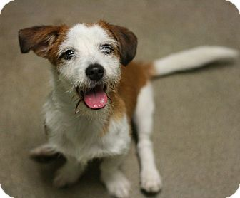 Terrier (Unknown Type, Small) Mix Puppy for adoption in Canoga Park, California - Frazier