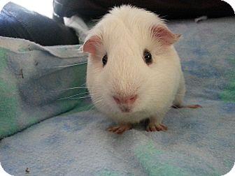 Guinea Pig for adoption in Harleysville, Pennsylvania - Otis