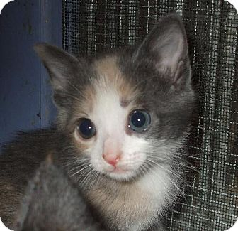 Calico Kitten for adoption in Lenexa, Kansas - Rainbow