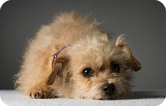 Terrier (Unknown Type, Small)/Border Terrier Mix Dog for adoption in Los Angeles, California - Lucy