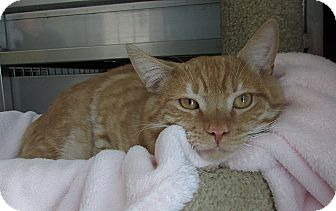 Domestic Shorthair Cat for adoption in Washingtonville, New York - Tommy