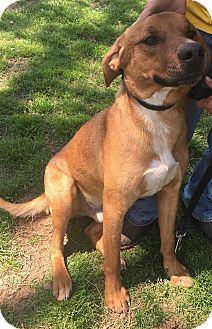 Hound (Unknown Type) Mix Dog for adoption in Manchester, Connecticut - Jocko meet me 5/5