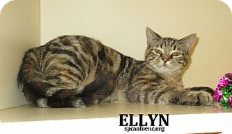 Domestic Shorthair Cat for adoption in Elizabeth City, North Carolina - Ellyn