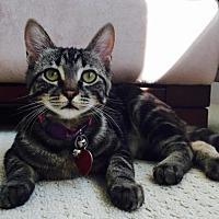 Domestic Shorthair Cat for adoption in Edmonton, Alberta - Winterfell