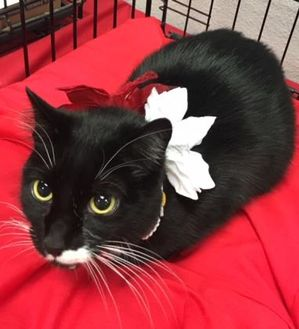 Domestic Shorthair/Domestic Shorthair Mix Cat for adoption in Coos Bay, Oregon - Daisy