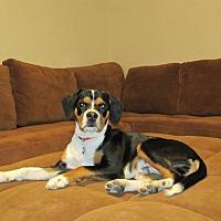 Adopt A Pet :: Shane - Las Vegas, NV