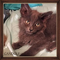 Adopt A Pet :: GANDOLF - Winnipeg, MB