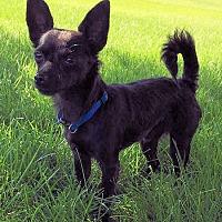 Adopt A Pet :: P-Diddy - Prosser, WA
