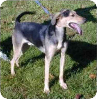 Greyhound Mix Dog for adoption in Oxford, Michigan - Casey