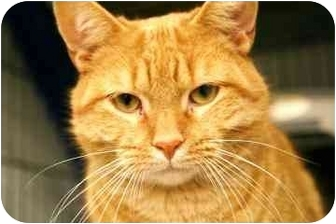 Domestic Shorthair Cat for adoption in Walker, Michigan - Screech