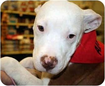 American Bulldog Mix Puppy for adoption in Marietta, Georgia - Pong