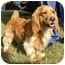 Photo 2 - Golden Retriever/Spaniel (Unknown Type) Mix Dog for adoption in FOSTER, Rhode Island - Tuggles& Puggles