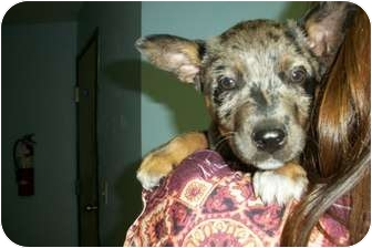 Catahoula Leopard Dog/Australian Cattle Dog Mix Puppy for adoption in McIntosh, New Mexico - Olivia