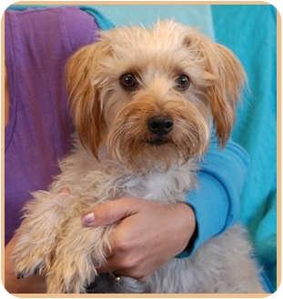 Silky Terrier Mix Dog for adoption in Las Vegas, Nevada - Skeeter