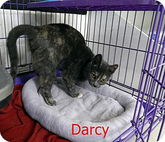 Domestic Shorthair Cat for adoption in Chilhowie, Virginia - Darcy