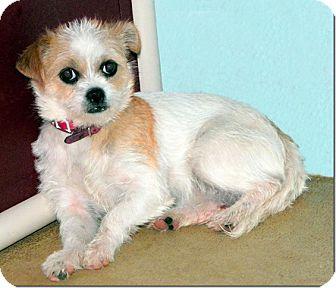 Shih Tzu/Rat Terrier Mix Dog for adoption in Sullivan, Missouri - Princess