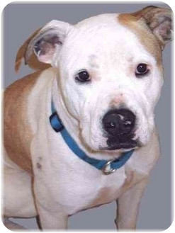 Staffordshire Bull Terrier Dog for adoption in Grass Valley, California - Juan