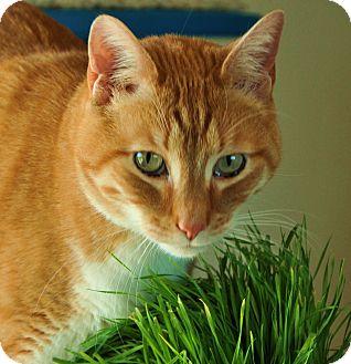 Domestic Shorthair Cat for adoption in Gardnerville, Nevada - Pumkin