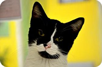 Domestic Shorthair Cat for adoption in Fort Smith, Arkansas - Rita