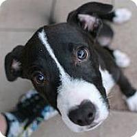 Adopt A Pet :: Ursula - Austin, TX