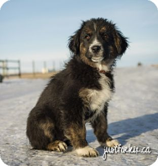 Collie/Great Pyrenees Mix Puppy for adoption in High River, Alberta - Strathmore pup 2