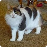 Domestic Longhair Cat for adoption in Mesa, Arizona - Lucy