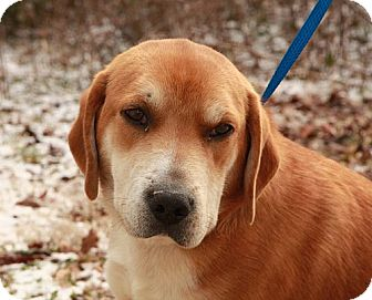 Labrador Retriever Mix Dog for adoption in Hagerstown, Maryland - Gus