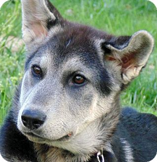 German Shepherd Dog Mix Puppy for adoption in Cary, North Carolina - Bridgette--ADOPTED