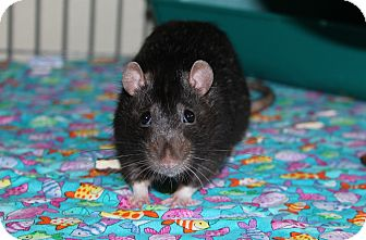 Rat for adoption in Austin, Texas - Stannis