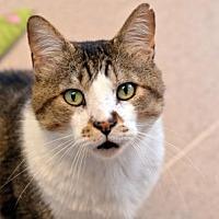 Domestic Shorthair Cat for adoption in Atlanta, Georgia - Buddy Boy 160334