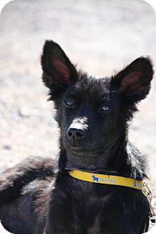 Basenji Mix Dog for adoption in Las Vegas, Nevada - Sparky
