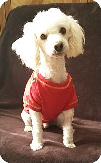 Poodle (Miniature) Dog for adoption in Los Angeles, California - TOBY