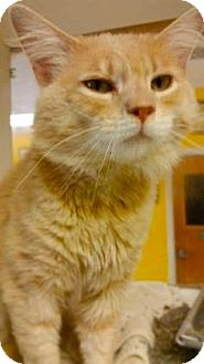 Domestic Mediumhair Cat for adoption in Fort Smith, Arkansas - Casper