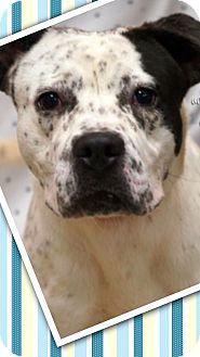 American Bulldog/Hound (Unknown Type) Mix Dog for adoption in Effort, Pennsylvania - Bandit