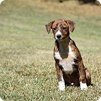 Adopt A Pet :: Harris - South Dennis, MA