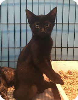 Domestic Shorthair Kitten for adoption in Barrington, New Jersey - Arizona