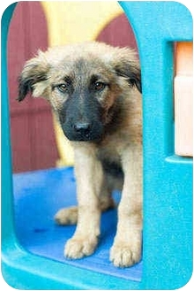 German Shepherd Dog Mix Puppy for adoption in Portland, Oregon - Alex