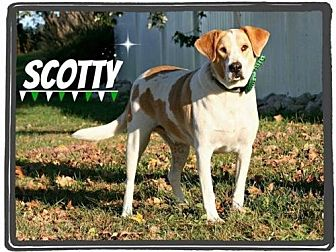 Hound (Unknown Type)/Labrador Retriever Mix Dog for adoption in Marion, Kentucky - Scotty