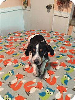 Border Collie/Beagle Mix Puppy for adoption in Cranford, New Jersey - Weston