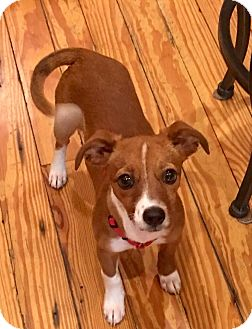 Foxhound/Terrier (Unknown Type, Medium) Mix Puppy for adoption in Sturbridge, Massachusetts - Honey
