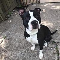 Adopt A Pet :: Apollo - Christiana, TN
