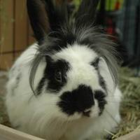 Adopt A Pet :: Tashi - Bedford, NH