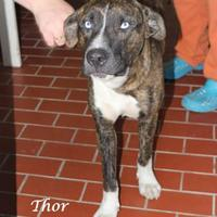 Adopt A Pet :: Thor - Madisonville, TN