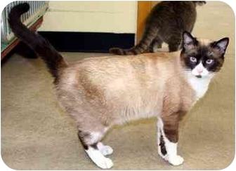Snowshoe Cat for adoption in Phoenix, Oregon - Scamp