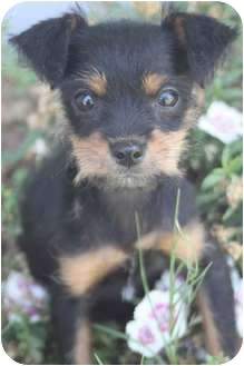 Chihuahua/Poodle (Miniature) Mix Puppy for adoption in Yuba City, California - Alli